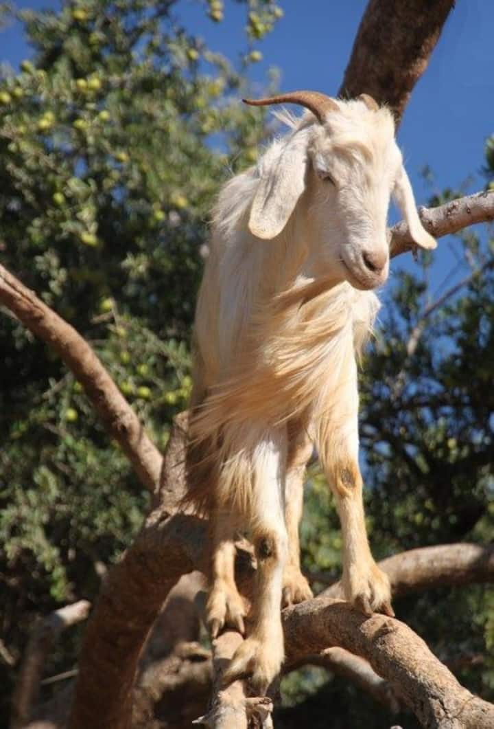 Goats on the tree eating Argan nuts