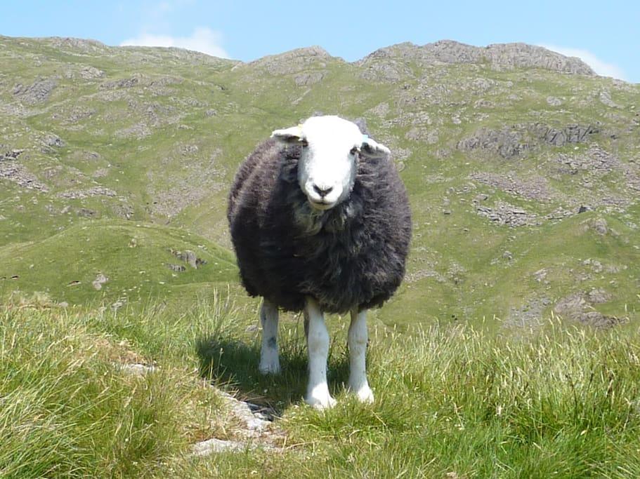 The Herdwick: the friendliest sheep ever!