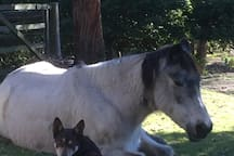 Chilli the kelpie & Calamitty chillin' out