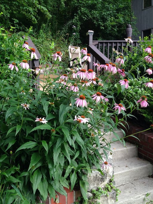 July Flowers, these are Echinacea/Purple Cone Flowers