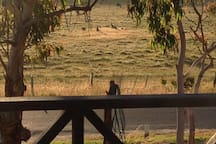 Views from the verandah with Kangaroos relaxing in the valley