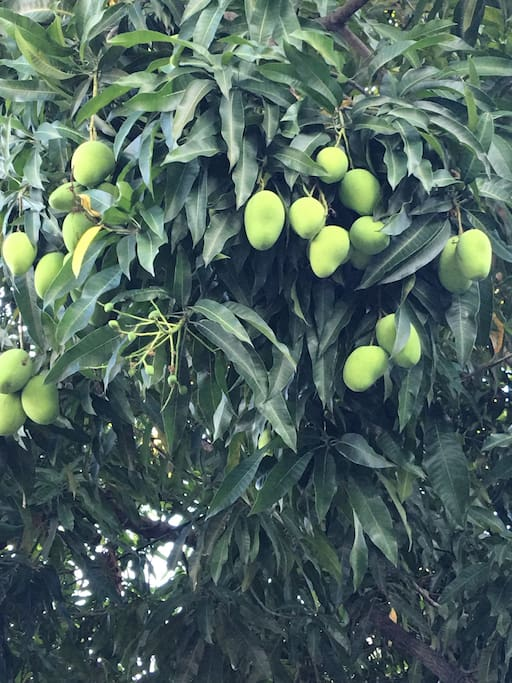 Mangos all you can eat