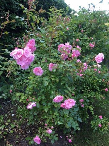 En av många rosenbuskar i trädgården