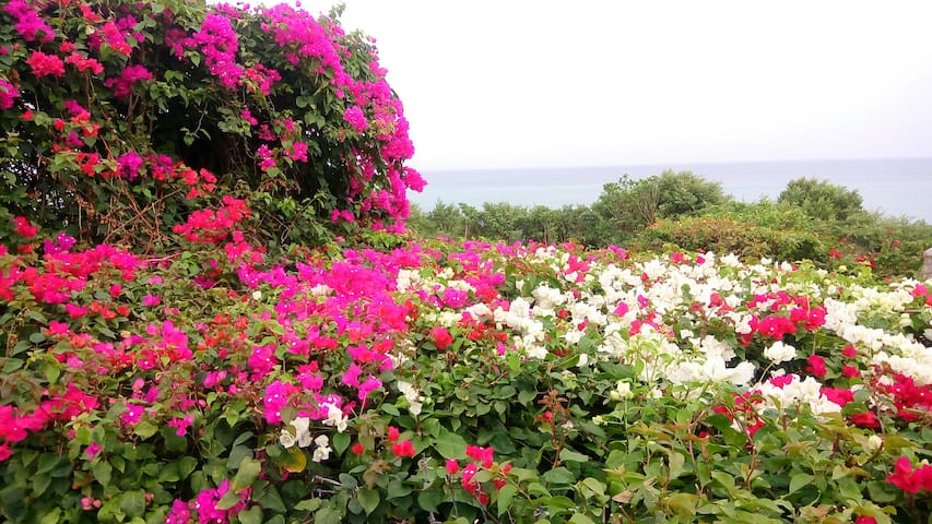 Bougainvilleas in bloom in your garden area.