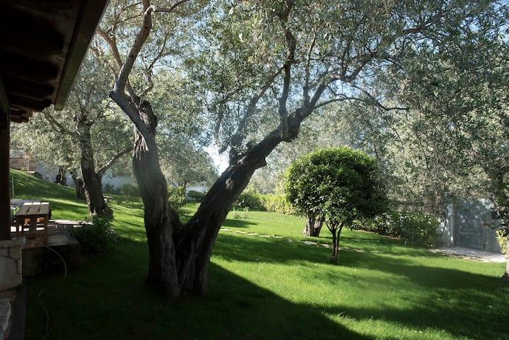 Il vecchio ulivo (the old olive tree)