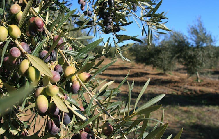 Portugal Valley's Olive Paradise
