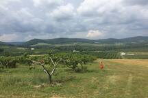 Upper Adams county is known for beautiful peach and apple orchards. The woods behind our cabin back up to apple orchards.  This picture was taken in the McDannells orchard 5 min from our cabin--they have a great farm store that sells local fruits and veggies.