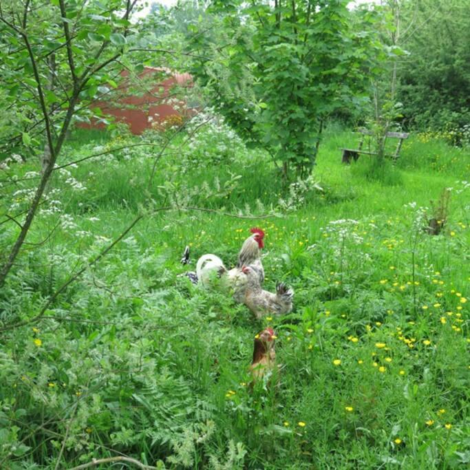 Nos amies les poules et leur coq...