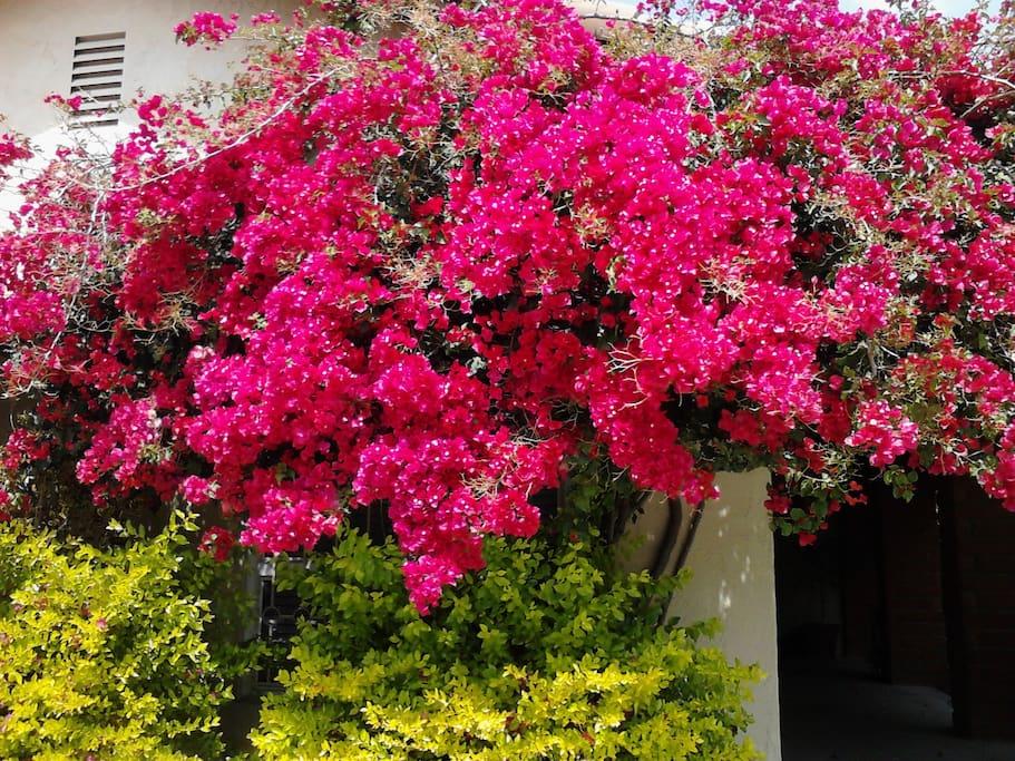 Beautiful bouganvilla at front entry