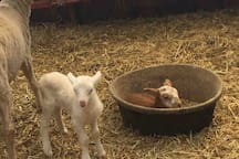 New lambs in the early spring in our barn