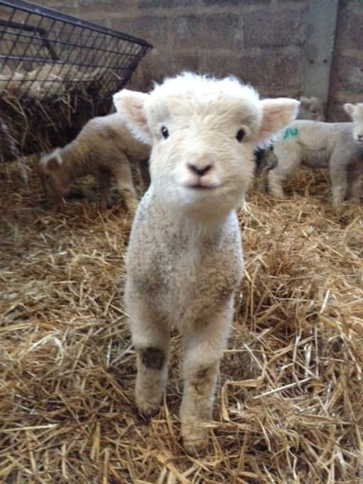 It's lambing time! Anyone who likes cuddling newborn baby lambs come now! 10 March 2018