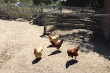 Chickens at play