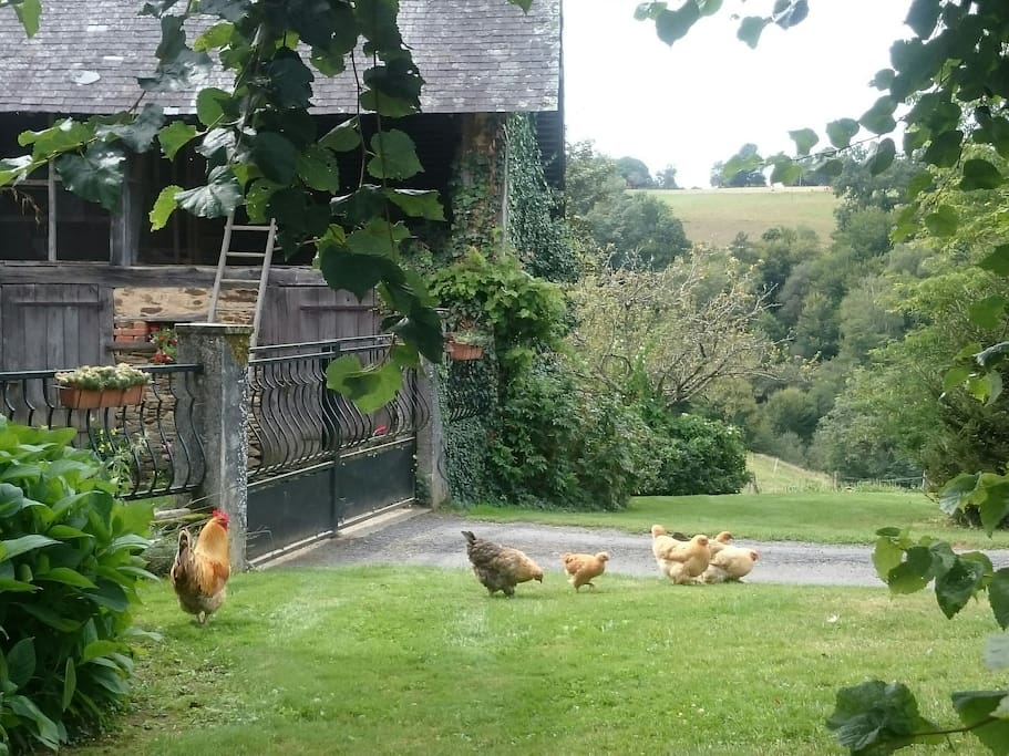 Our free range poultry.