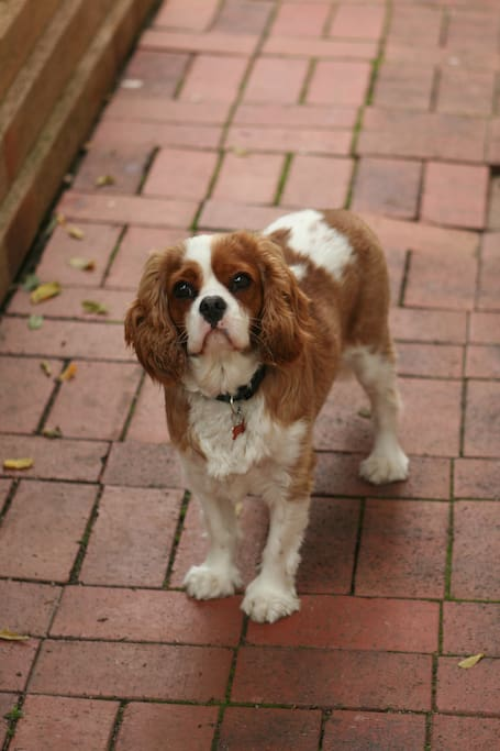 This is Dougie, our King Charles Cavalier, he loves attention and playtime, very well trained and obedient.
