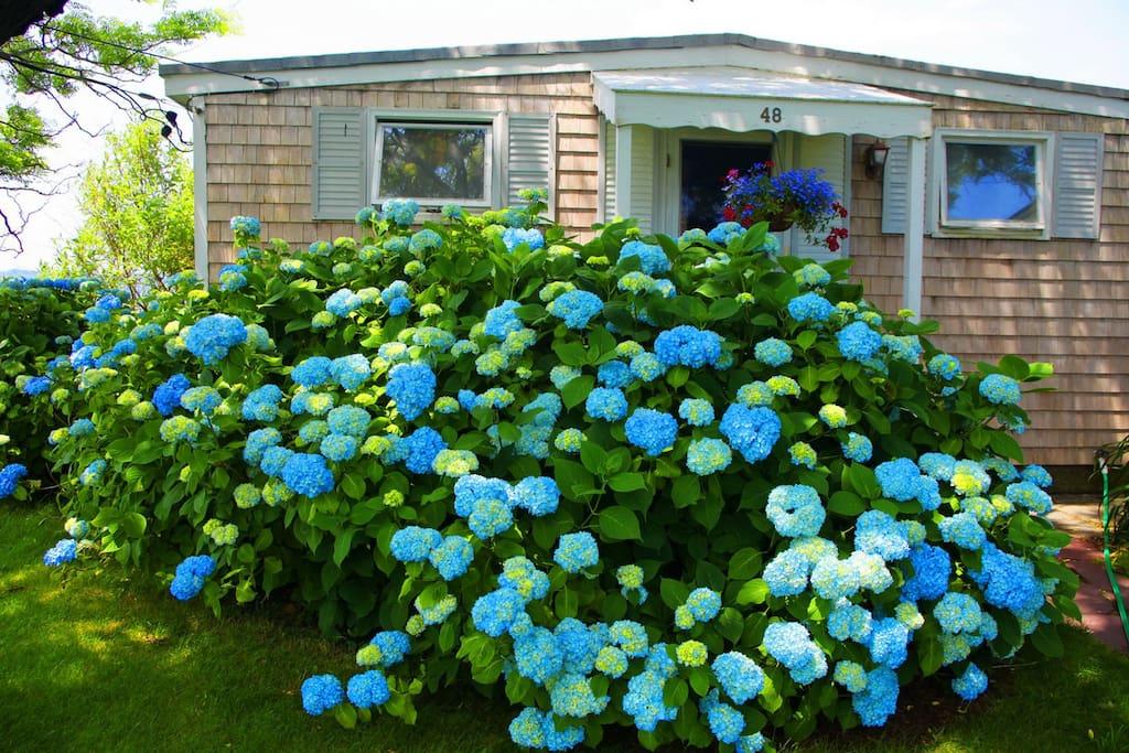 Hydrangeas surround the house  on 4 sides