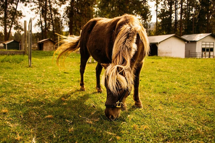 Bubbles- one of the miniature ponies that lives outside your window!