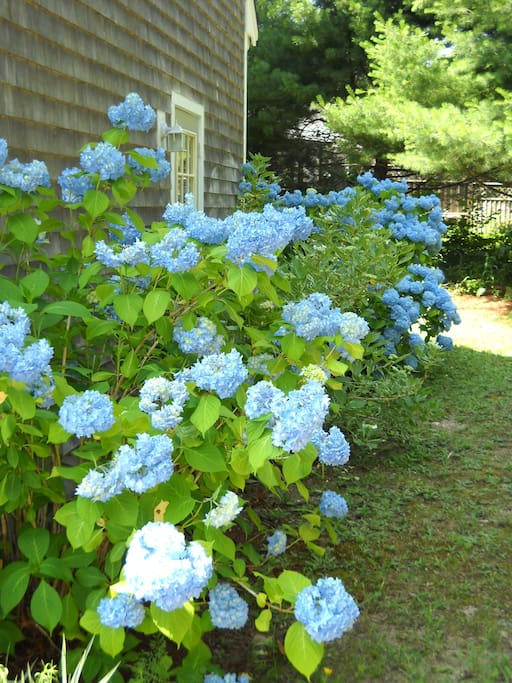 Hydrangeas in the Spring.