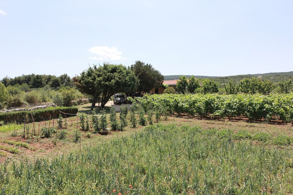 Property sits on 4 Acre, and stretches from the main road to the sea shore. Private road leads to apartments. Vineyard with veggetable garden and  olive grove in the background. This is a perfect place for those that like rustic ambience, and privacy with  own beach.