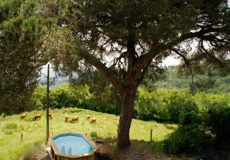 la piscine était en cours de réalisation entourée par les vaches
