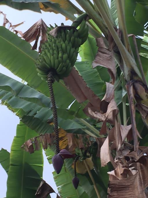 Banana tree in the back yard