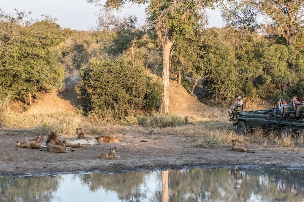 Guests viewing a pride of lions in Thornybush