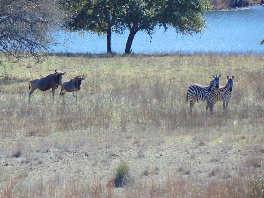 Some of the Exotics you will see ... Wildebeest and Zebra!