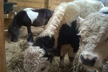 Mini horse and cows