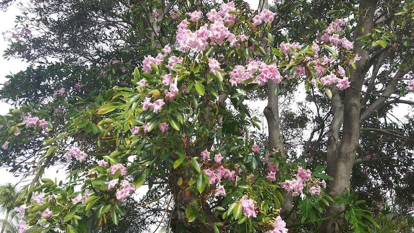 One of many flowering trees on Kauai