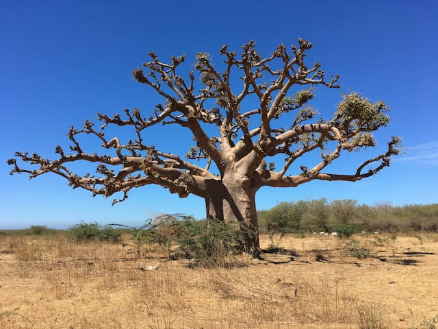 Baobab sur la route de Popenguine