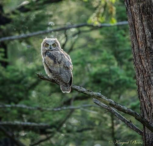 Another great one Compliments of Wildlife Photographer and Great Friend - Cathy King (kingcat1212 Photos 2019).....Sweet Owlet