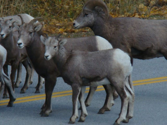Big Horn Sheep up close and Personal