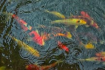 We collect Japanese Koi - there's nearly 50 of them nowadays.