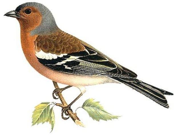 Bofinken