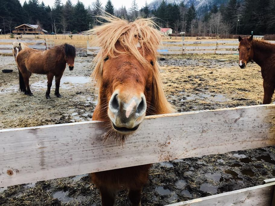 One friendly Icelandic horse