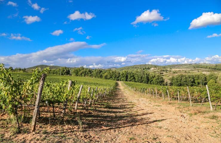 Vineyards /vigne