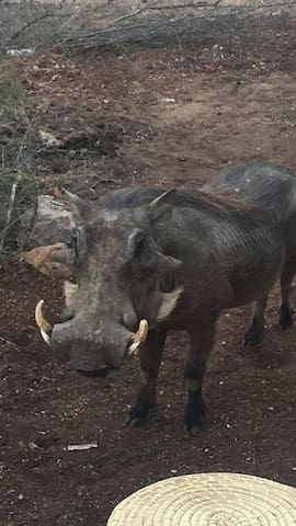 Rooibos Bush Lodge - Warthogs often come to say hello