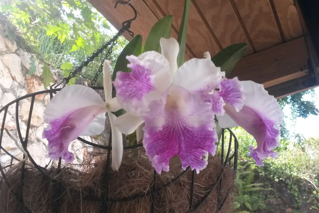 Orchid in bloom