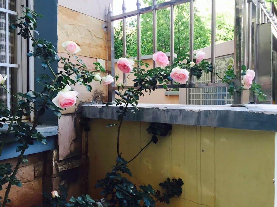 昆明是一座适合种花的春城,房东是个种花小能手哦,这是房东种植的欧洲月季。