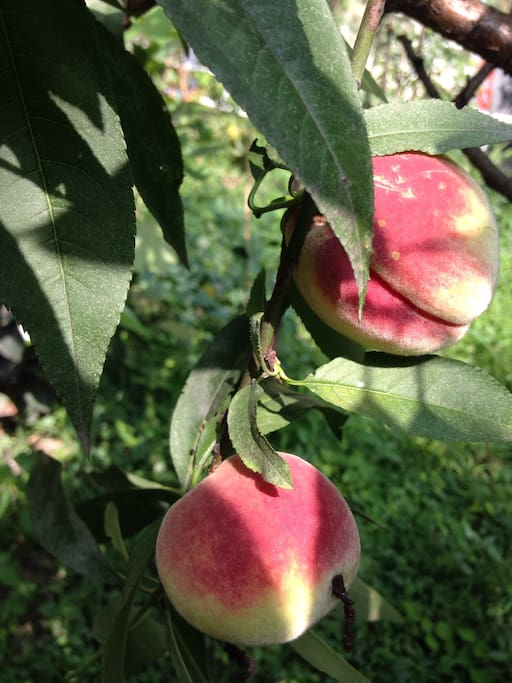 peaches in August
