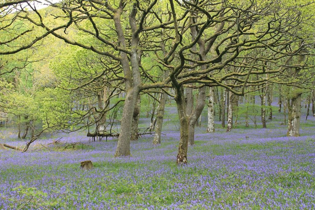 Bluebell woods at the Dinas bird reserve near Rhandirmwyn