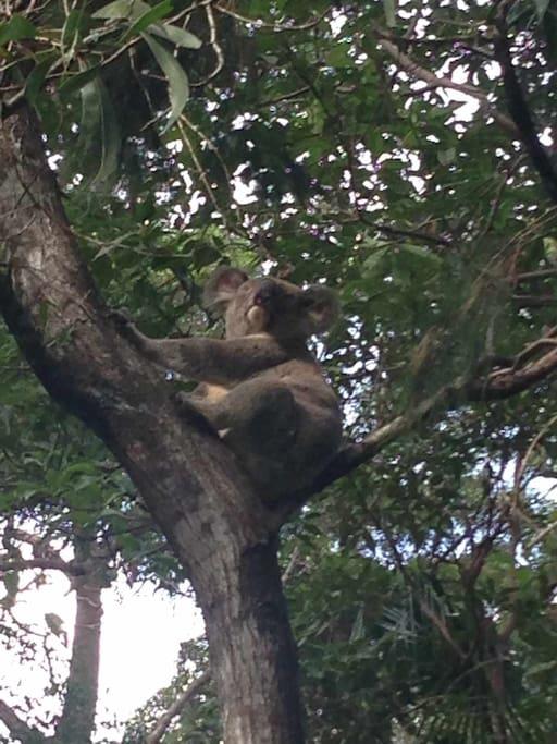 Koala families on  the property
