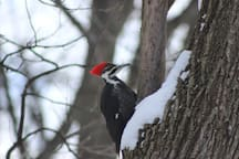 Birding, pileated woodpecker