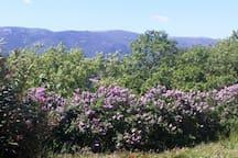Le lilas en fleurs