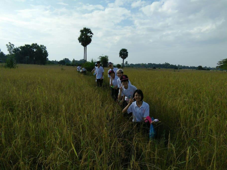 volunteers come to help farmers rice harvesting.