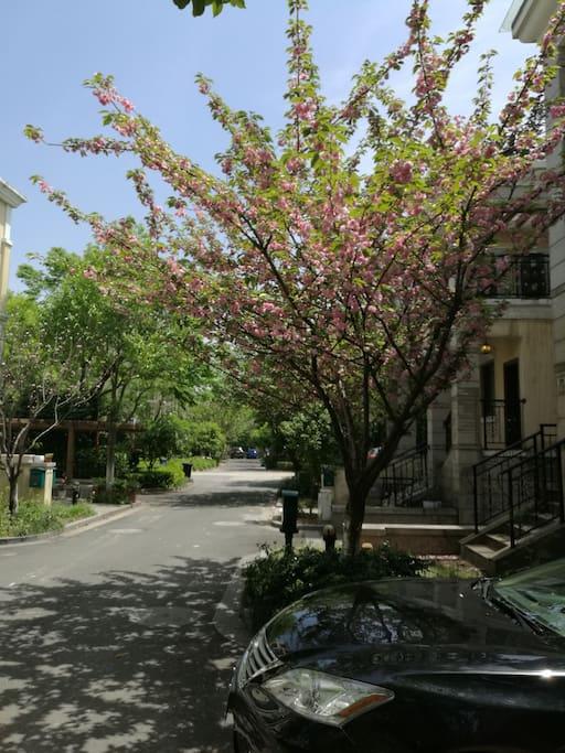门前的樱花树
