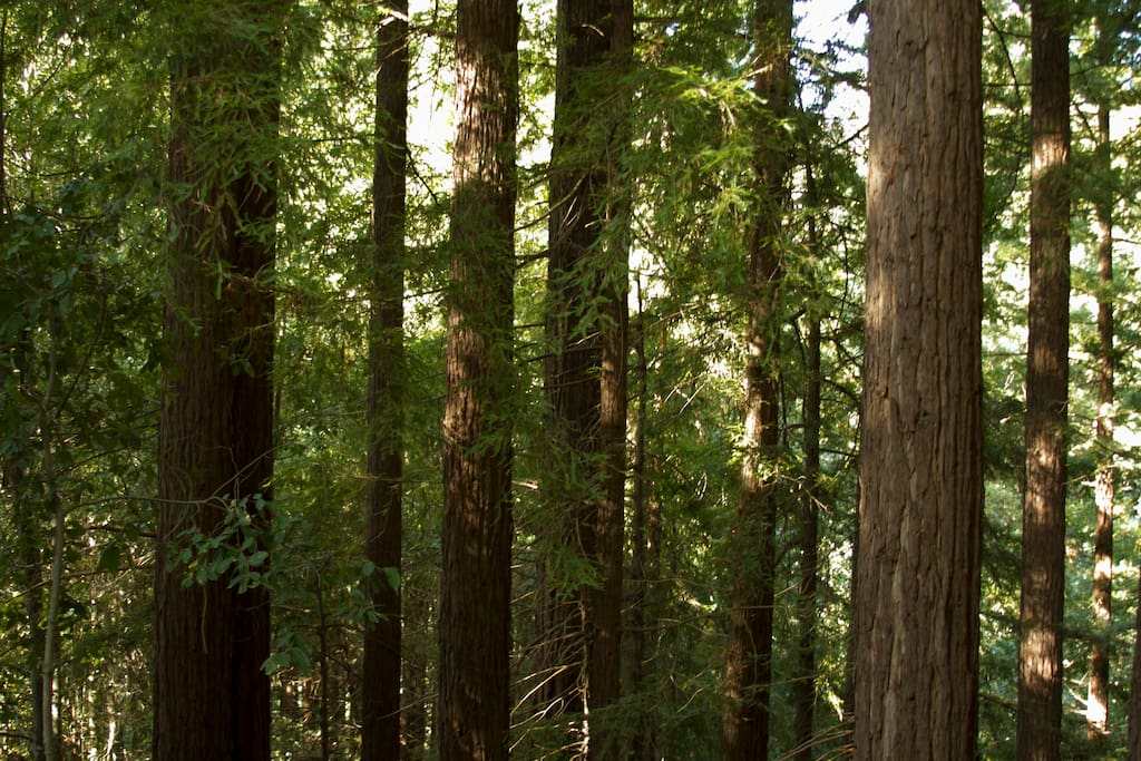 Our beautiful redwood trees.