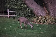 Deer are regular guests at Stahlecker House