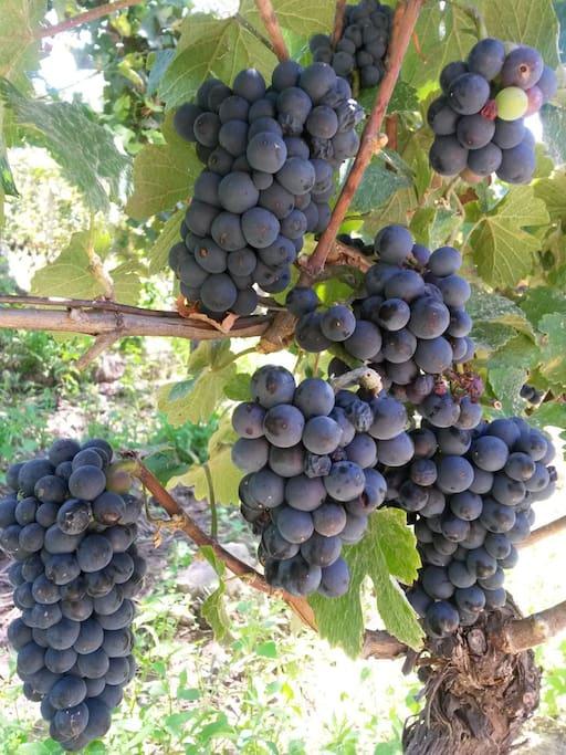Nuestras uvas pinot noir antes de la cosecha