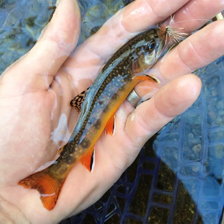 Native Brook Trout only found in NC.