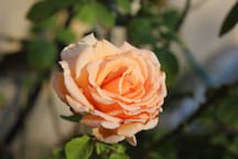 If you are fortunate, you will experience the fragrance of my favorite rose during your stay. This rose bush & I have had many trials, yet she still blesses me with her intoxicating fragrance now & then. I hope you are lucky enough to enjoy it too!